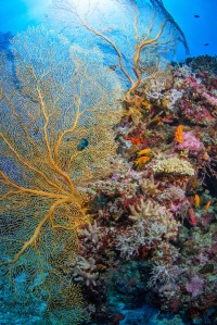 Coral thriving in Chagos. Photo by Dr Rohan Holt.
